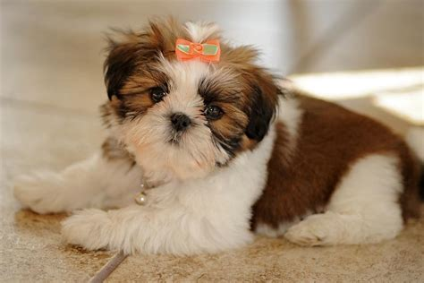 shih tzu bow shih tzu puppy with a bow photograph by matt plyler