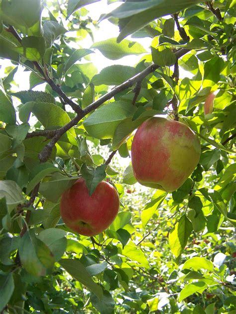 apple tree canadian strawberry apple tree apples