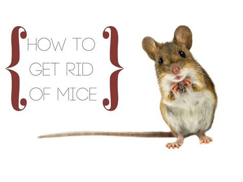 how to get rid of rats in the backyard how to get rid of mice critter control ta