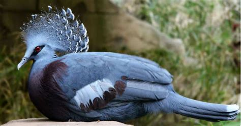 victoria crowned pigeon  beautiful bird