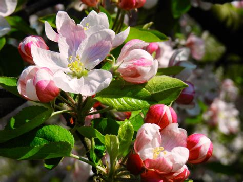 apple blossom apple blossom time along the blue ridge living in the