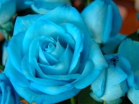 Imagenes De Rosas Verdes Y Azules | c 243 mo cuidar las rosas azules