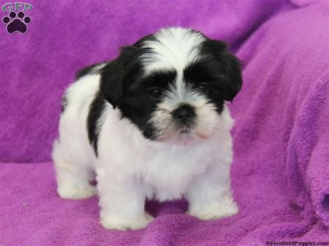 shichon puppies for sale in pa 71 best images about shiffon shichon shorkie puppies on shih tzu mix
