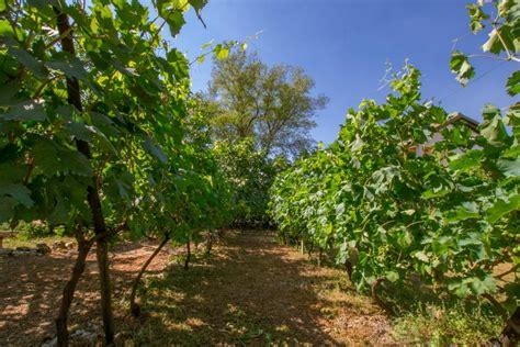 backyard vineyard terra viva family home near medjugorje bosnia and