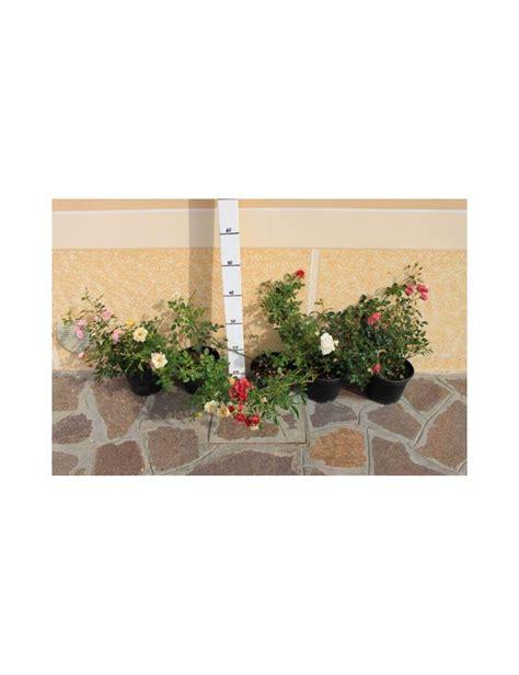 piccolo fiore rosai rifiorenti a piccolo fiore vendita piante on line