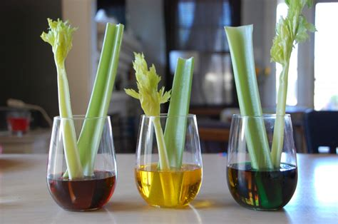 food coloring experiment celery science experiment tinkerlab