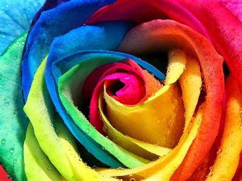 imagenes de rosas multicolores violetas rosa arco iris rainbow roses