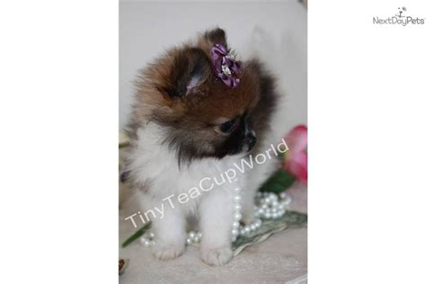 teacup pomeranian puppies for sale in arizona pomeranian puppy for sale near arizona ab0adbf1 f661