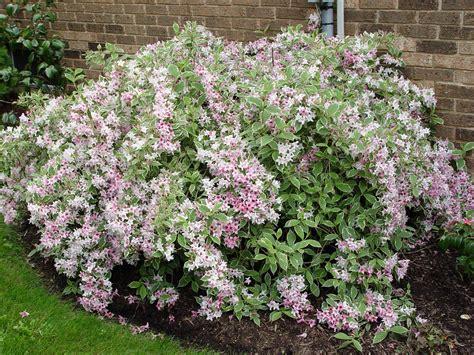 variegated shrub with pink flowers variegated weigela garden housecalls