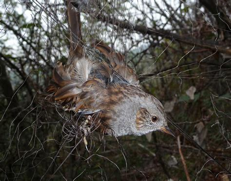 a dunnock gets trapped in an illegal net used for