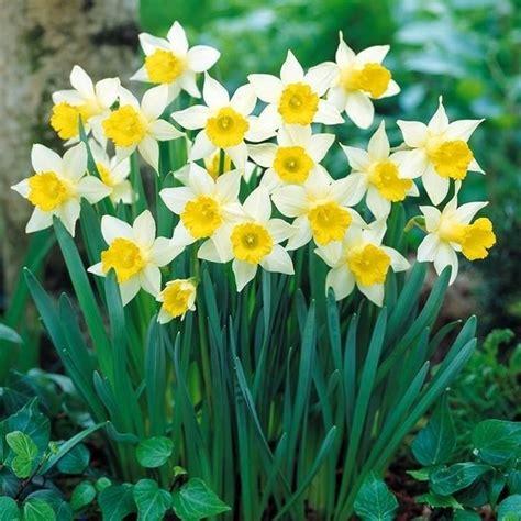 narcisi fiori narciso narcissus bulbi caratteristiche narciso