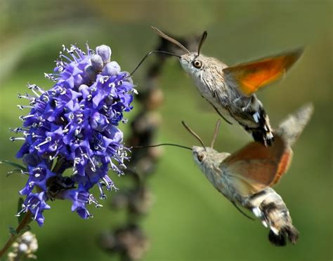 hummingbird moths have these at my house gt they love the
