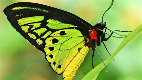 green butterfly wallpaper funny animal yellow and green butterfly full hd wallpaper and