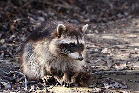 how to get rid of a raccoon in your backyard how to get rid of raccoons abc humane wildlife