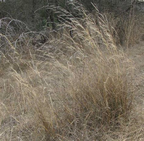what is awn what is a grass awn 28 images cheatgrass the grass awn