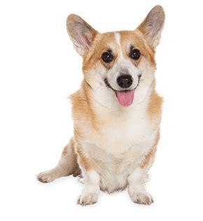 where can i get a free puppy corgi sitting transparent png stickpng