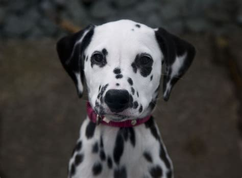 dalmatian puppies for sale indiana dalmatian puppies picture md