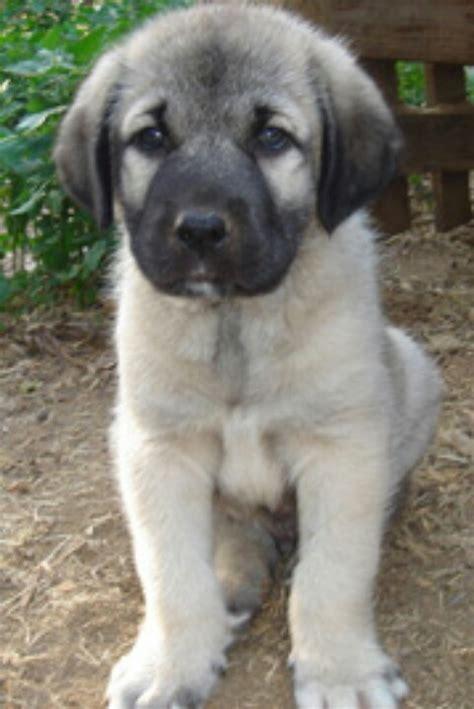 turkish kangal puppies kangal puppy i want dogs puppys and i want