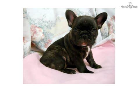 puppy finder ct find a frenchton breeder ct breeds picture