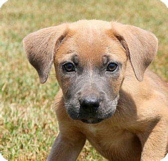 golden retriever weimaraner mix glastonbury ct weimaraner golden retriever mix meet a puppy for adoption