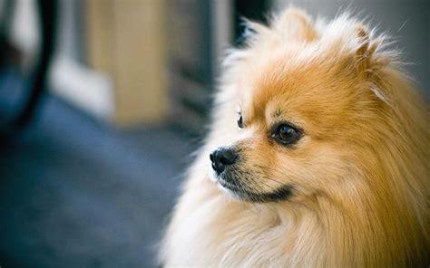 golden pomeranian puppies golden pomeranian puppy photo jpg hi res 720p hd