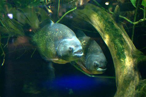 piranhas deep sea world north  mike pennington