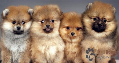 mix breed puppies for sale pomeranian pug mix puppies for sale breeds picture