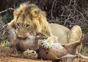 imagenes de leones salvajes image gallery leones cazando