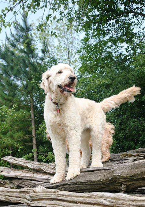 goldendoodle puppy advice facts about goldendoodle breeds picture