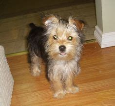 are yorkies easy to potty 1000 images about puppy apartment reviews on potty trains and