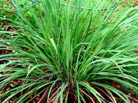 Tanaman Serai Wangi By Bb Plant 7 panduan lengkap dan mudah cara budidaya serai bumbu