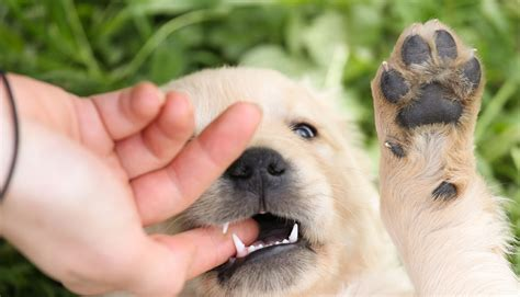 puppy constantly biting effectively stop puppy biting with these methods