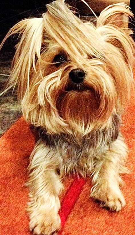 how to make yorkie hair silky 491 best yorkies images on yorkies dogs and puppies