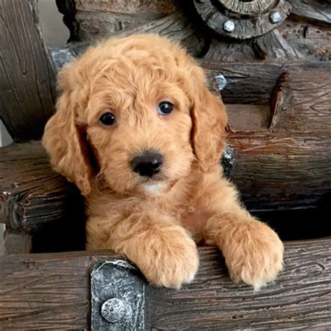 doodle puppy the 7 cutest puppies on the web