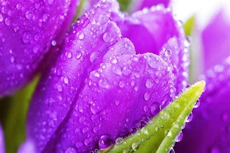 wallpaper bunga violet 10 gambar bunga warna purple ungu violet gambar top 10