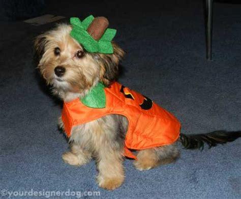 yorkie poo costumes my pumpkin yourdesignerdog