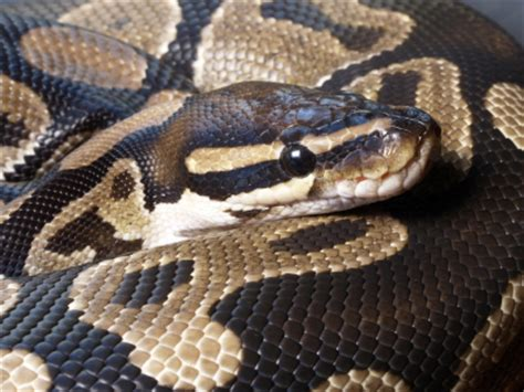 Attractive Snake Handling Church #9: 140ballpythonupclose.ashx