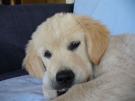 golden retriever breeders nz golden retriever puppies for sale new zealand dogs our friends photo