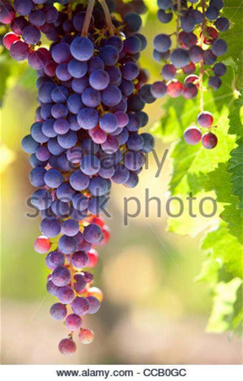 Immagini Di Uva by Grappolo Di Uva Foto Immagine Stock 167874651 Alamy