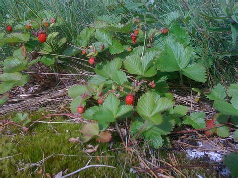 Walderdbeeren Giftig by Strawberries Dipping And Other Tales Of