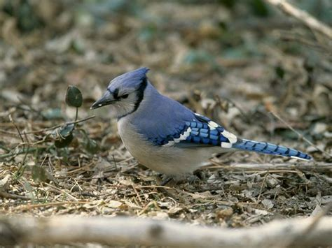 blue jays blue jay pictures blue jay facts national