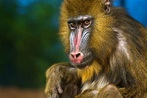 mandrill mandrillus sphinx  animals