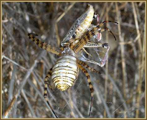 Garden Spider Utah Banded Argiope Orb Weaver Parts I And Ii Banded Garden