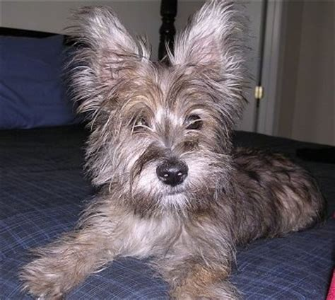 westie yorkie fourche terrier breed information and pictures