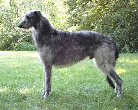scottish dogs lovely scottish deerhound photo and wallpaper beautiful lovely scottish deerhound