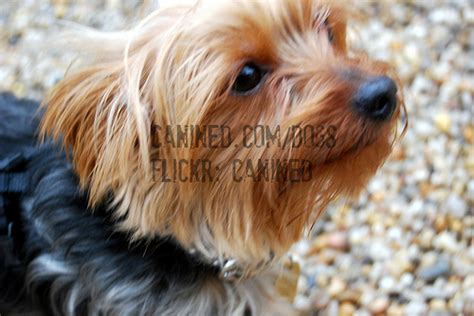 yorkie nyc yorkie nyc image search results