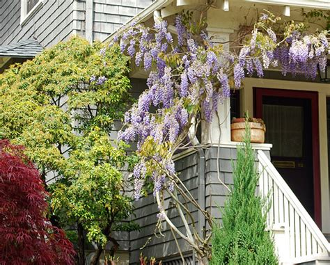 wisteria climbing plant climbing wisteria flickr photo