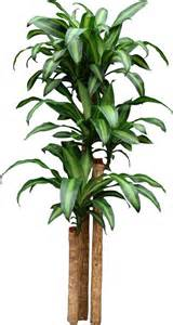 home depot house plants dracaena corn plant finally figured out what my house