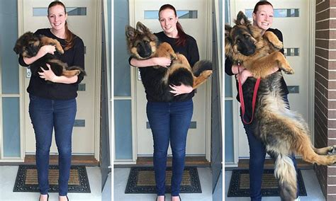 puppy growth spurts reddit document their s extraordinary growth spurt in photos daily mail