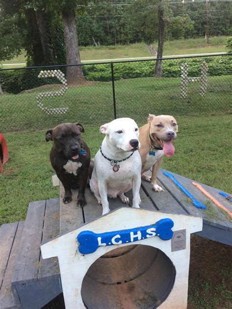 aggressive rescue three quot aggressive quot rescue pitbulls dudley spud and mrs pig pitbulls